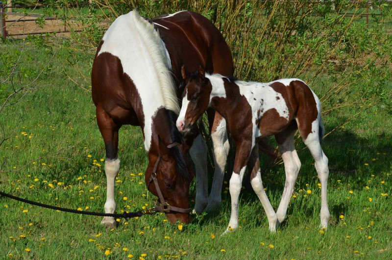 PAINT MARE WITH FOAL AT FOOT